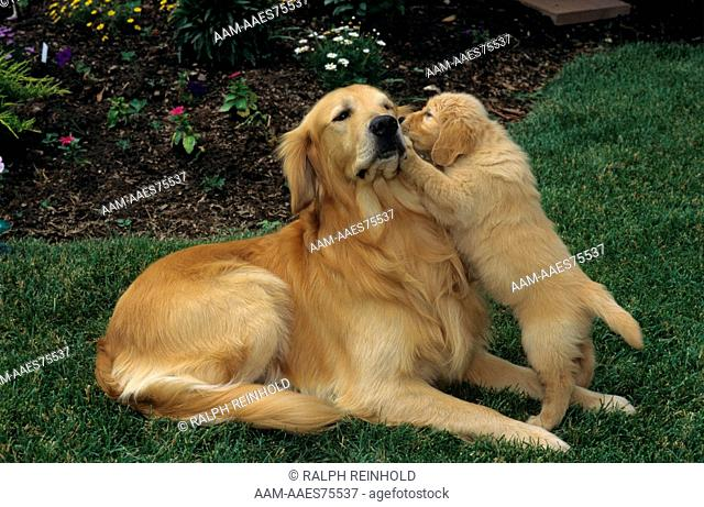 Golden Retriever Being Bothered by Puppy Oakville, Ontario