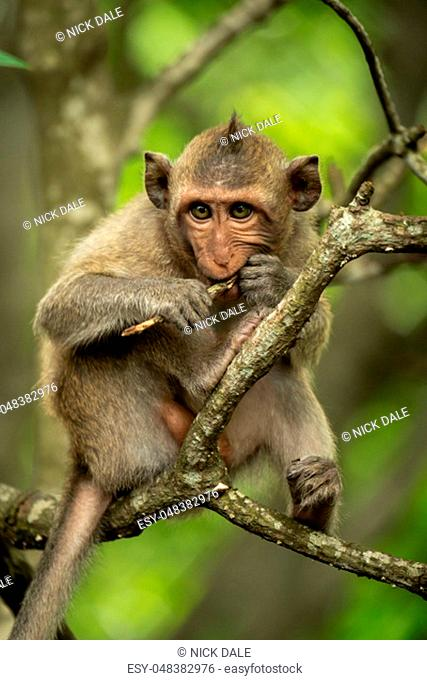 Baby long-tailed macaque on branch gnawing twig