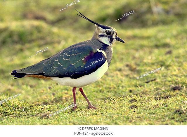 Lapwing- male in breeding plumage Stratspey, Scotland