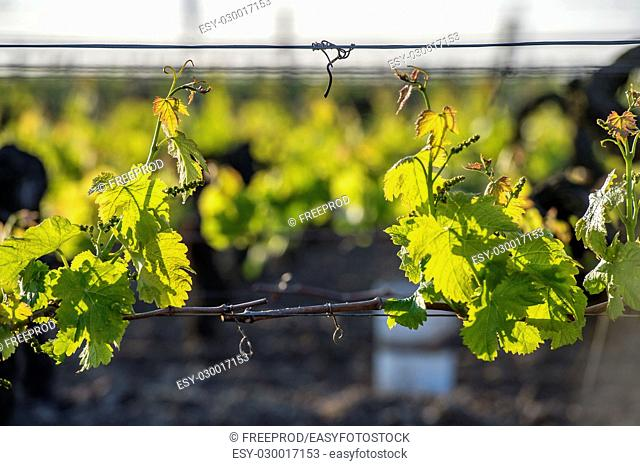 Young branch with sunlights in vineyards, Pomerol, France