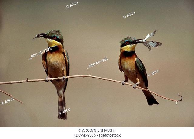Little Bee-eaters, Massai Mara Game Reserve, Kenya, Merops pusillus