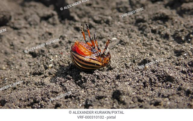 Colorado potato beetle (Leptinotarsa decemlineata) dies after spraying with an insecticide