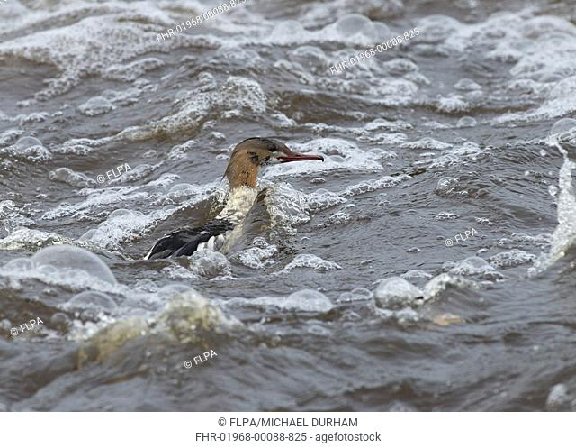 Goosander Mergus merganser adult male, in partial eclipse plumage, swimming in rough water, River Nith, Dumfries and Galloway, Scotland, november