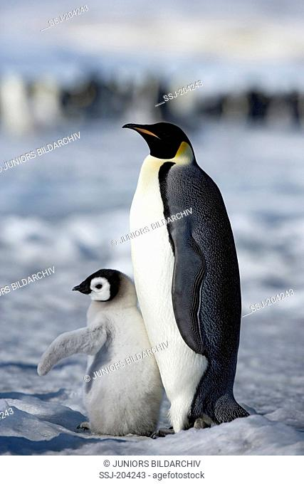 Emperor Penguin (Aptenodytes forsteri). Adult with chick standing on ice. Snow Hill Island, Antarctica