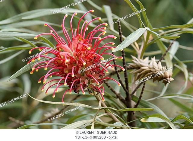 Nature, Flower, Grevillea banksii, Aclimação Park, São Paulo, Brazil