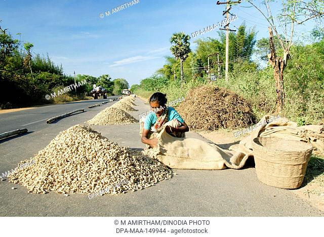 Groundnut drying on road near Gangaikondacholapuram ; Tamil Nadu ; India