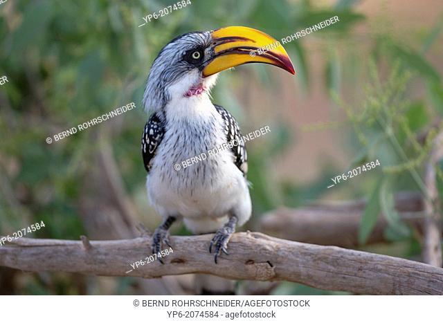 Eastern Yellow-billed Hornbill (Tockus flavirostris) sitting on branch, Samburu National Reserve, Kenya