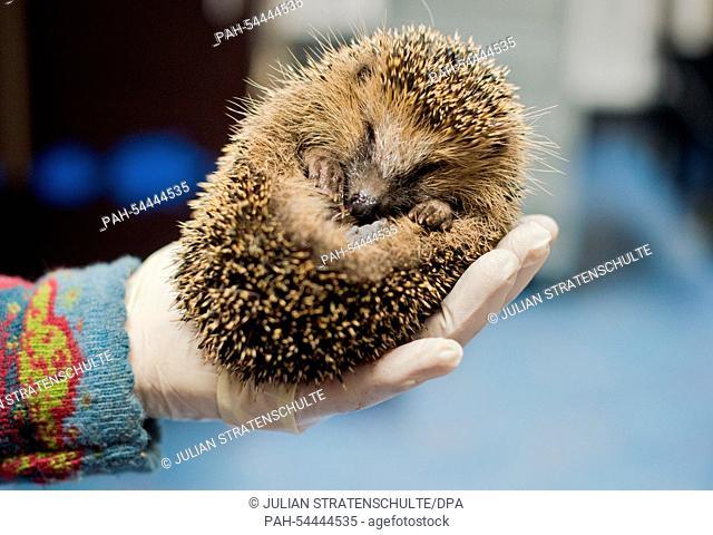 A helper holds a hedgehog weighing only 350 gram at the 'Aktion Tier Igelzentrum Niedersachsen' (Operation animal hedgehog-centre Lower Saxony) in Laatzen near...