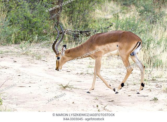 Male of impala antelope (Aepyceros melampus), Okonjima Nature Reserve, Namibia