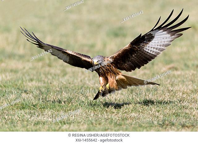 Red Kite, Milvus milvus, in flight , about to scavenge food from the ground, Lower Saxony, Germany