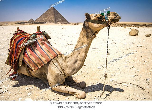 Cairo, Egypt Camel resting in the desert with the Great Pyramids of Giza in the background. This is The Pyramid of Menkaure