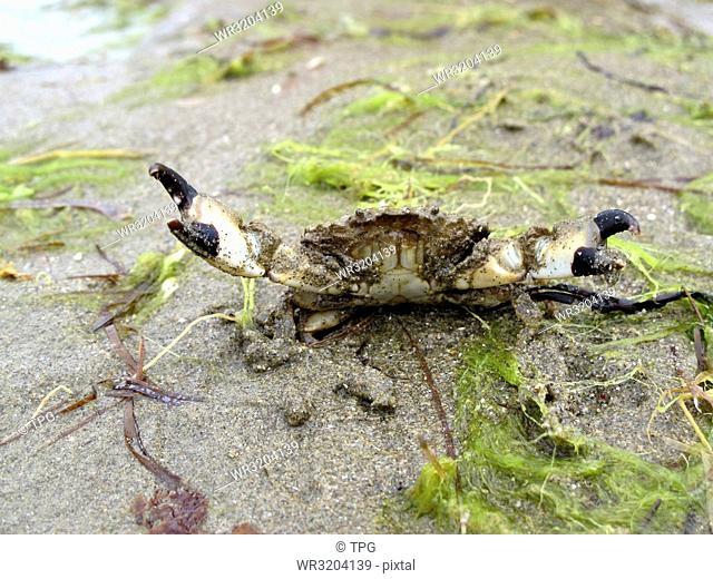 Leptodius sanguineus