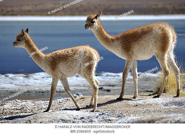 Vicuñas, vicugnas (Vicugna vicugna) on a lagoon, Altiplano, border of Chile and Bolivia, South America