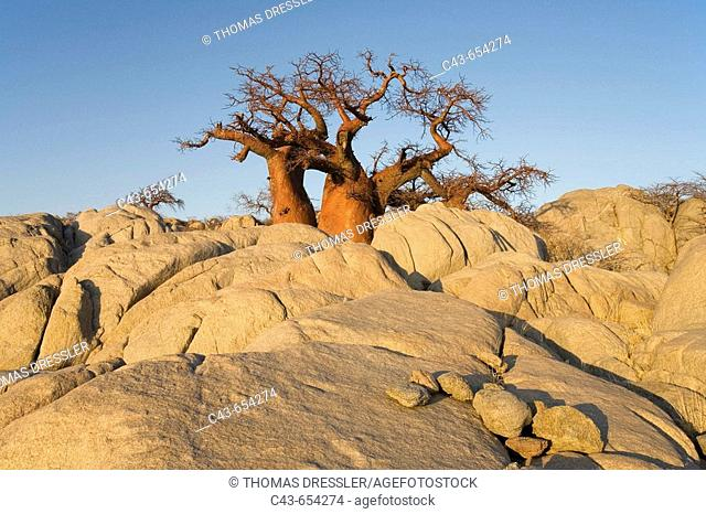Baobab (Adansonia digitata).  In the early morning at the isolated Kubu Island, a mysterious rock island at the western edge of Sowa Pan