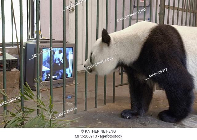 Giant Panda Ailuropoda melanoleuca named Gongzhu, captive born and raised, learning parenting skills by watching a video of her mother caring for a one month...