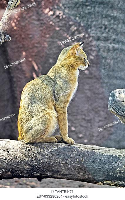 Sitting jungle cat, Felis chaus