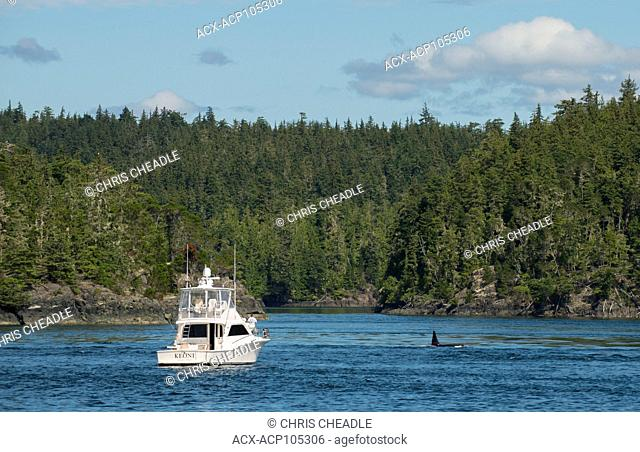 Orca Killer Whale , orcinus orca, near Telegraph Cove, Vancouver Island, British Columbia, Canada