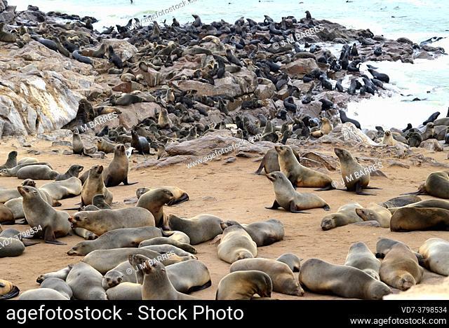 Brown fur seal (Arctocephalus pusillus) on Cape Cross, Namibia