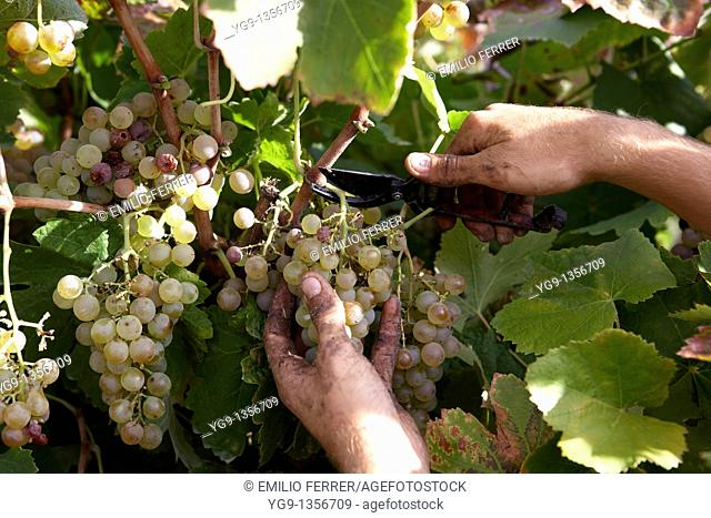 Worker cutting raceme of Charelo Grape in a vineyard  Raimat  LLeida, Spain