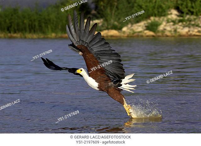 African Fish-Eagle, haliaeetus vocifer, Adult in Flight, Catching Fish, Baringo Lake in Kenya