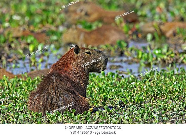 Capybara, hydrochoerus hydrochaeris, the Largest Rodent in the World, Adult standing in Swamp, Los Lianos in Venezuela