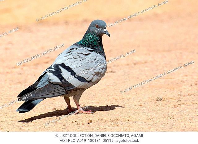 Rock Dove on the ground, Rock Dove, Columba livia