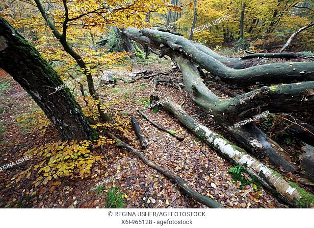 Ancient Forest, in autumn showing decaying tree stems, Sababurg National Park, North Hessen, Germany