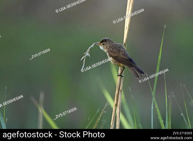 Reed Warbler-Acrocephalus scirpaceus collects material to build nest. Spring