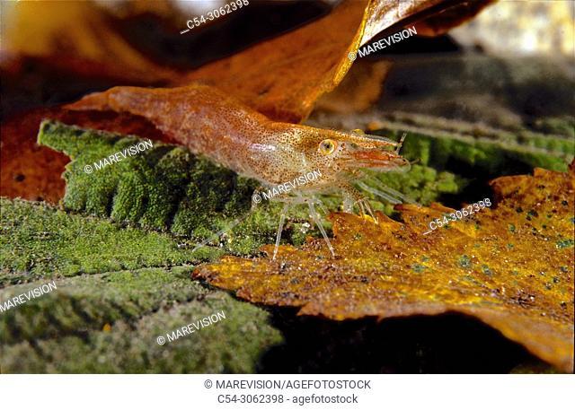Freshwater Rivers. Freshwater shrimp (Atyaephyra desmarestii). Rio Tea. Galicia. Spain. Europe