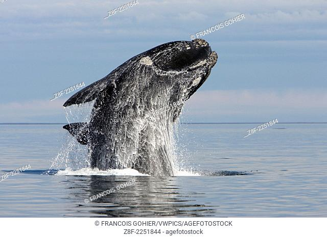 Southern Right whale: adult, breaching.Eubalaena australis.Off Puerto Piramide, Valds Peninsula, Chubut Province, Patagonia, Argentina