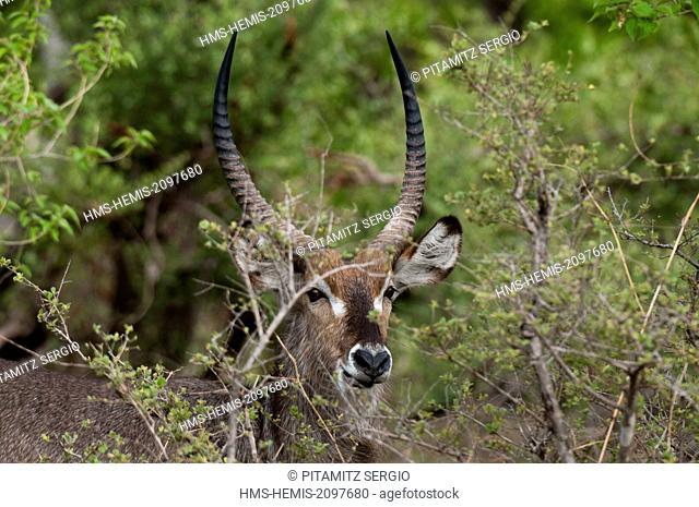 Botswana, Okavango delta, listed as World Heritage by UNESCO, Khwai Concession Area, Waterbuck (Kobus ellipsiprymnus)