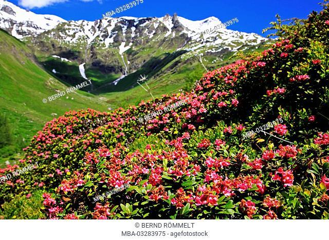 Austria, Carinthia, Hohe Tauern, High Tauern National Park, Grossglockner high alpine road, alpenrose, rhododendron ferrugineum