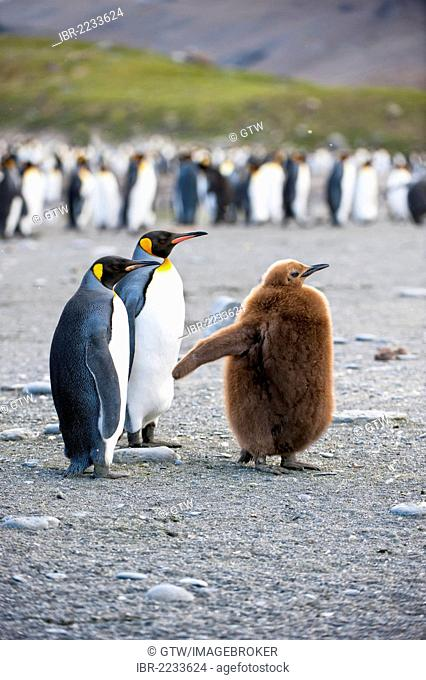 King penguins (Aptenodytes patagonicus) and chick, St. Andrews Bay, South Georgia Island