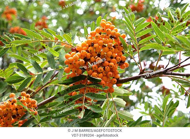 Rowan or mountain-ash (Sorbus aucuparia) is a deciduous tree native to Eurasia and north Africa. This photo was taken in Sanabria, Zamora province