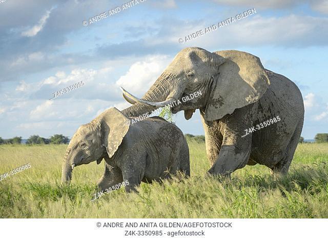 African elephant (Loxodonta africana) mother protecting calf in grassland, Amboseli national park, Kenya