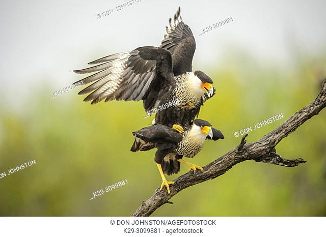 Crested Caracara (Caracara plancus) Mating adults, Santa Clara Ranch, Starr County, Texas, USA
