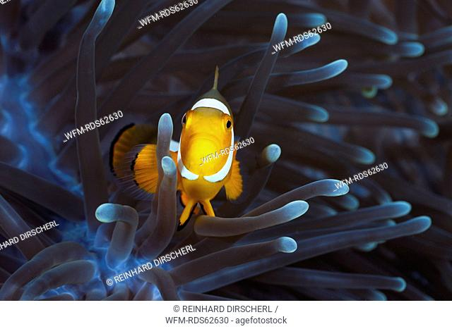 Clown Anemonefish in Magnificent Sea Anemone, Amphiprion ocellaris, Heteractis magnifica, Cenderawasih Bay, West Papua, Indonesia
