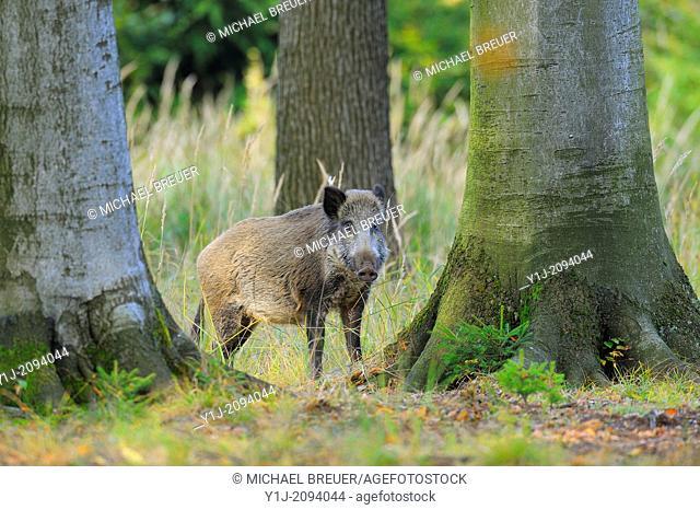 Wild Boar in Forest, Female, Sus scrofa, Bavaria, Germany, Europe