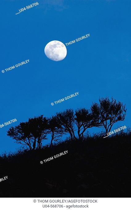 Moonrise over scrub oak trees, Wasatch Mountain foothills, SLC. Utah. USA