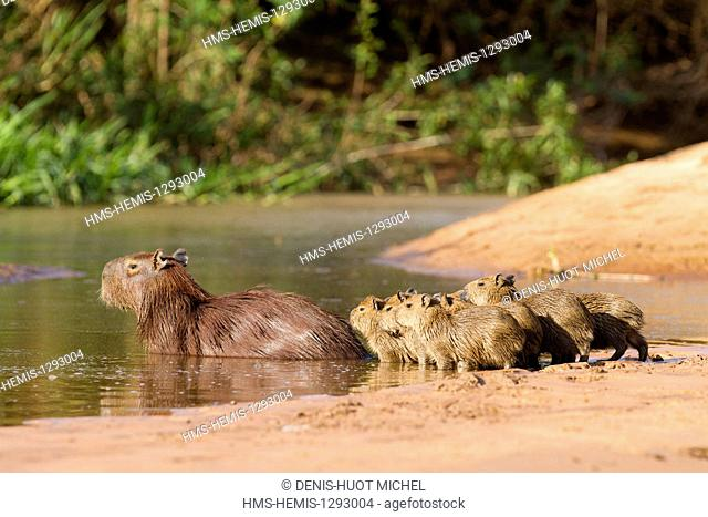 Brazil, Mato Grosso, Pantanal area, listed as World Heritage by UNESCO, capybara (Hydrochaeris hydrochaeris), mother and young