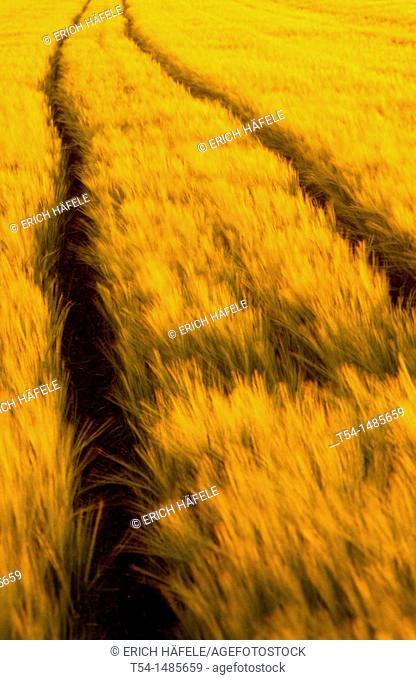 Tractor tracks in a nearly mature corn field