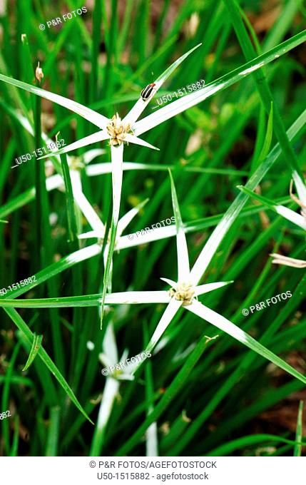 Bracteas and flowers of star-grass, Rhynchospora nervosa, Cyperaceae