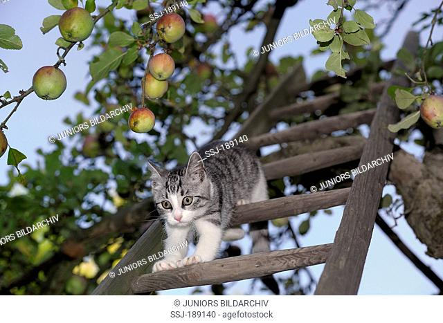 Domestic cat. Tabby and white kitten on a ladder in an apple tree. Germany