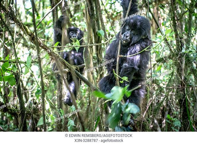 Mountain Gorillas (Gorilla beringei beringei) of the Muhoza group climb trees , in Volcanoes National Park, Virunga mountain range , Rwanda