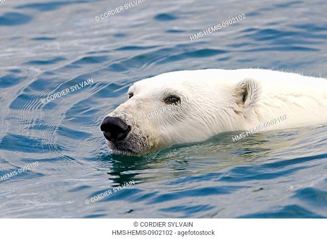 Norway, Svalbard, Spitsbergern, Polar Bear (Ursus maritimus), swimming in search of prey (seals on pieces of ice)