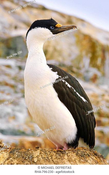 Blue-eyed shag cormorant, Petermann Island, Antarctica, Polar Regions