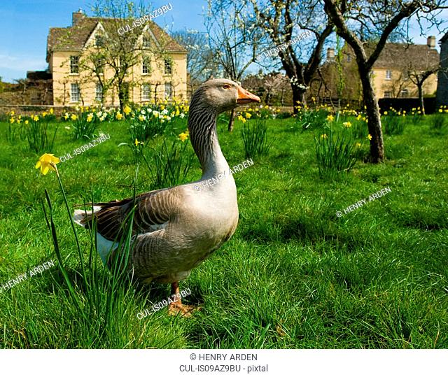 Portrait of goose in front of farmhouse