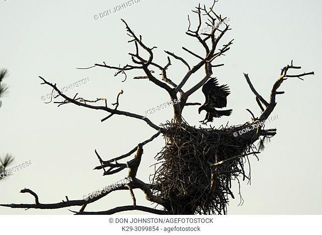 Bald eagle (Haliaeetus leucocephalus) Juvenile testing wings, St. Marks NWR, Florida, USA