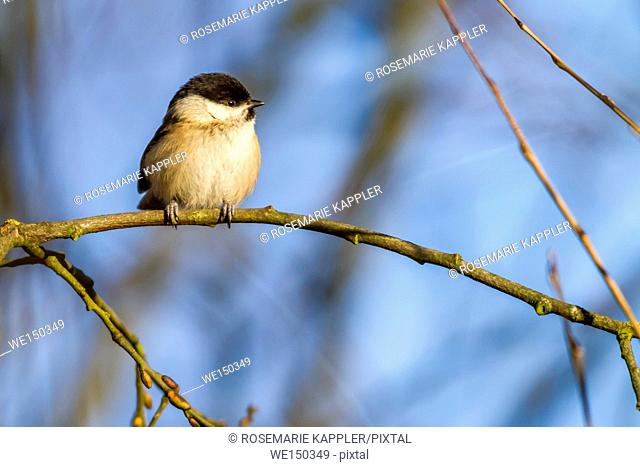 germany, saarland, dillingen - A marsh tit is searching for fodder