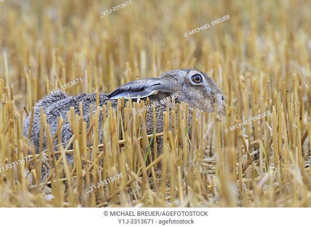 European brown hare (Lepus europaeus) on Stubblefield, Hesse, Germany, Europe